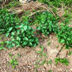 新しく植えたミントの苗も育ってきました。